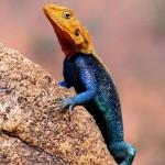 Reptile with orange head